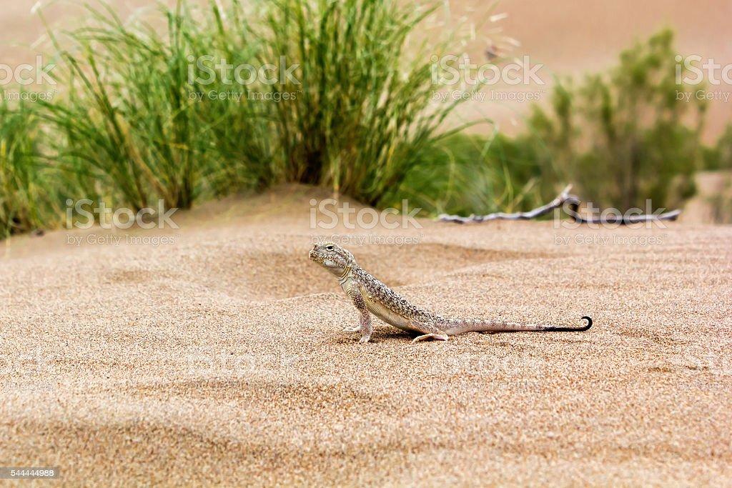 lizard in the desert stock photo