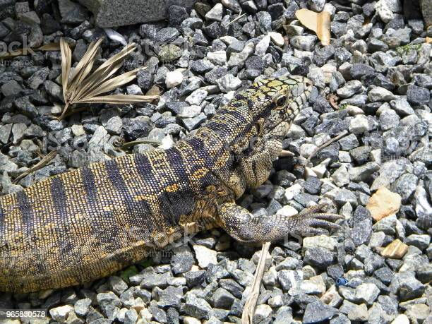 Lizard In The Nature Stock Photo - Download Image Now