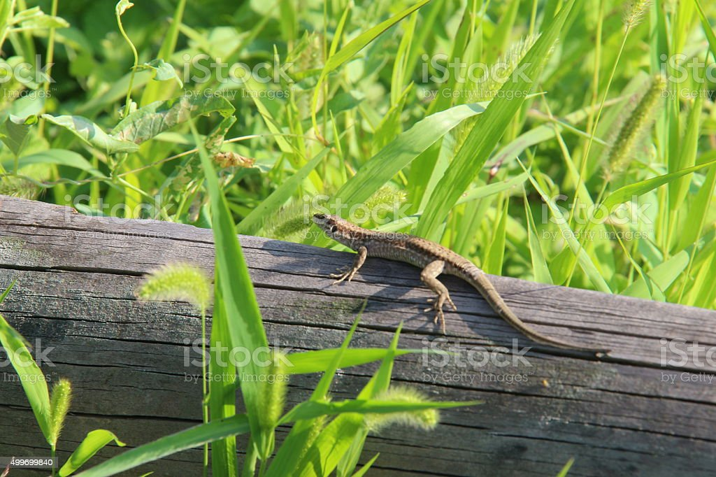 Lizard isolated in nature stock photo