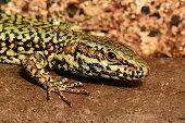 Lizard King