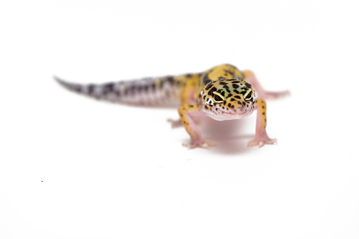 Lizard leopard gecko isolated on white background. Front view.