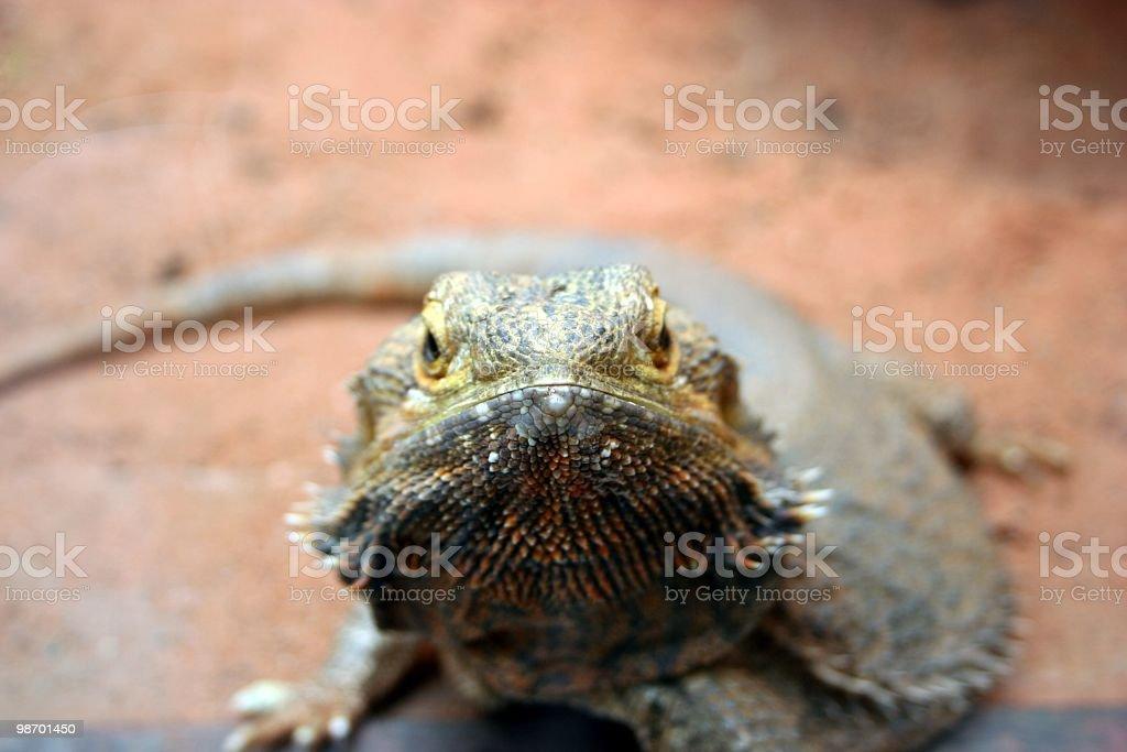 Lizard Looking royalty-free stock photo
