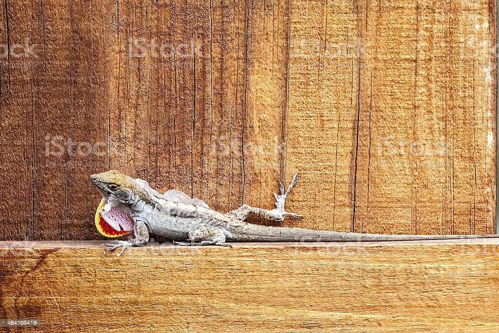 Lizard moulting stock photo