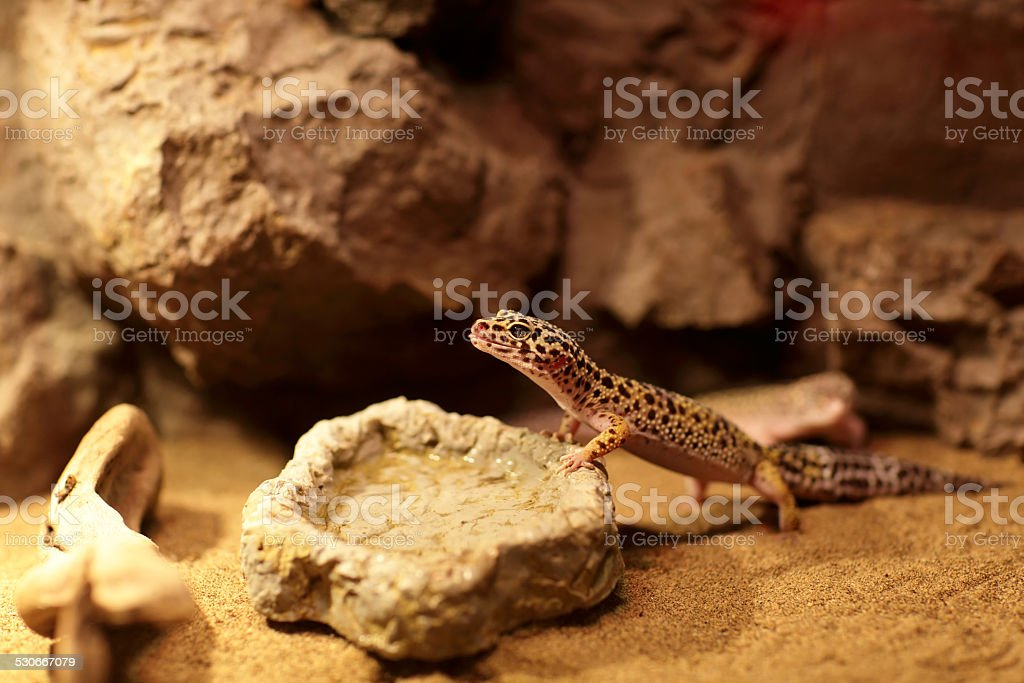 Lizard next to plate of water stock photo