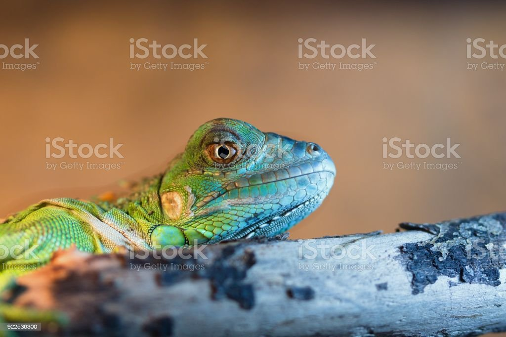 Lizard on a branch stock photo