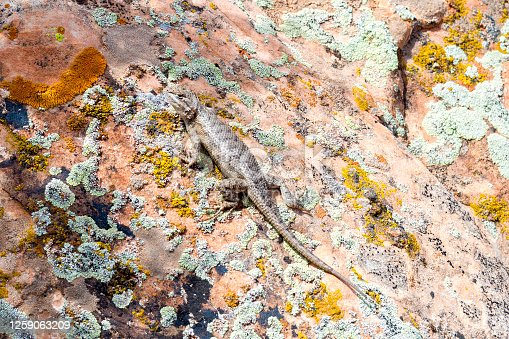 This lizard is sunning itself on a lichen covered rock in Canyonlands National Park, Utah, USA.