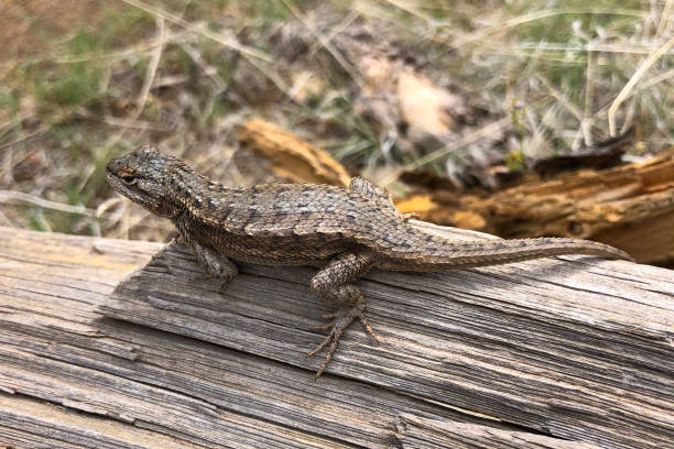 lizard on a log - jeff goulden stock photos and pictures