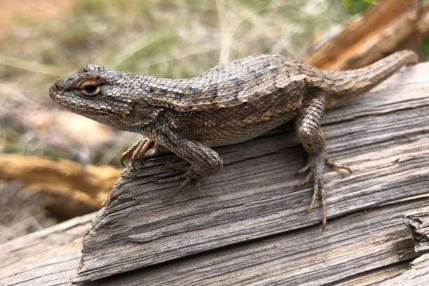 Lizard on a Log stock photo