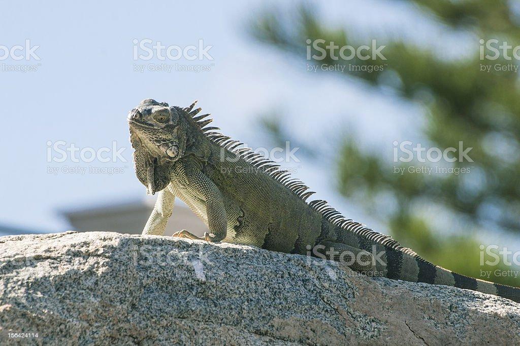 Lizard on a rock royalty-free stock photo