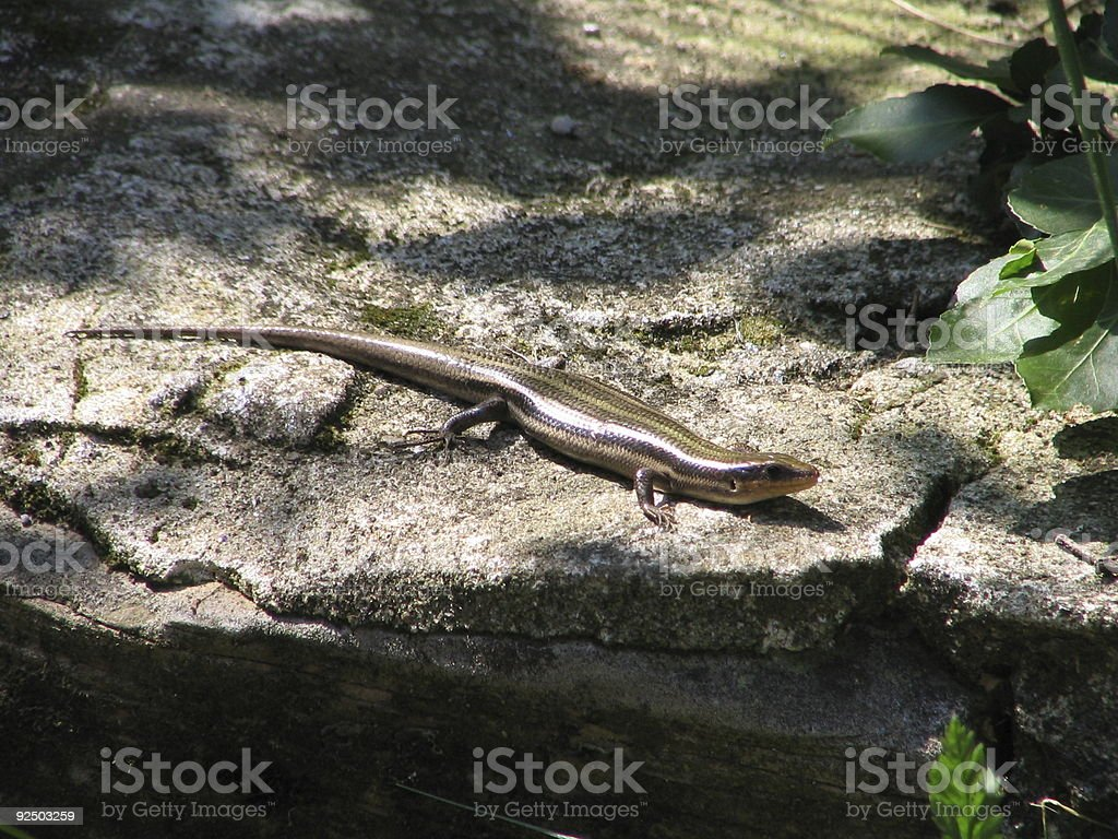 Lizard on a Rock royalty-free stock photo