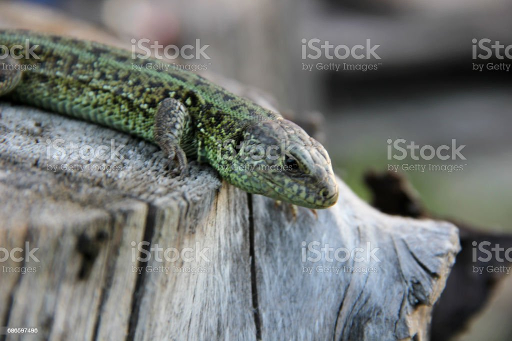 lizard on a stump royalty-free stock photo