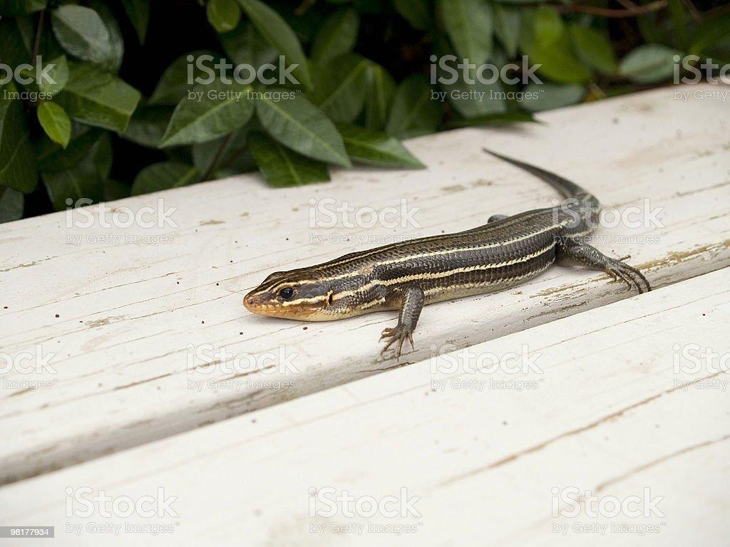 Lizard on Bench royalty-free stock photo