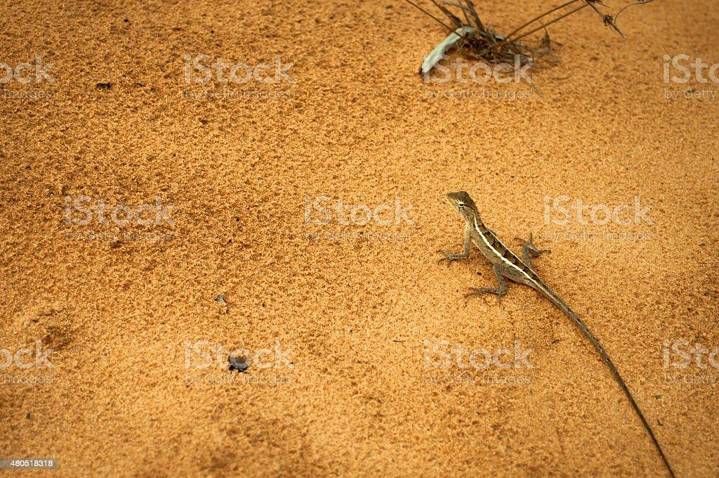 Lizard on orange sand in Vietnamese dunes stock photo