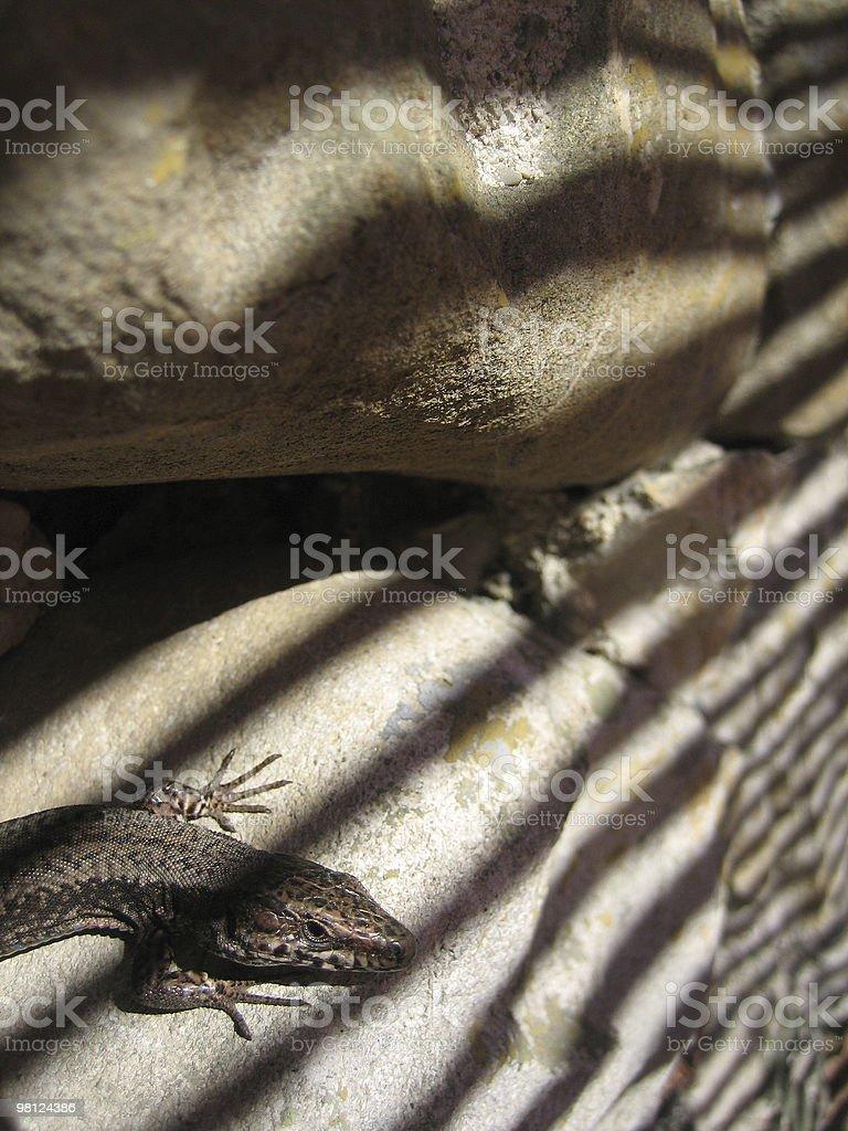 Lucertola su roccia con un alternarsi di ombra foto stock royalty-free