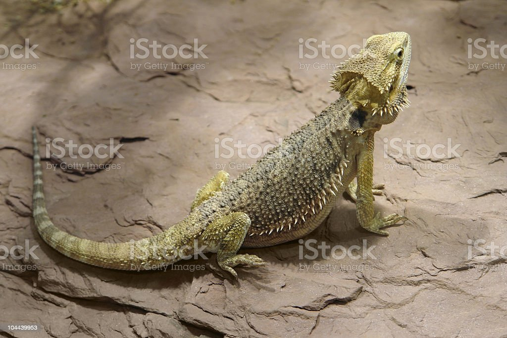 Lizard on stone surface royalty-free stock photo