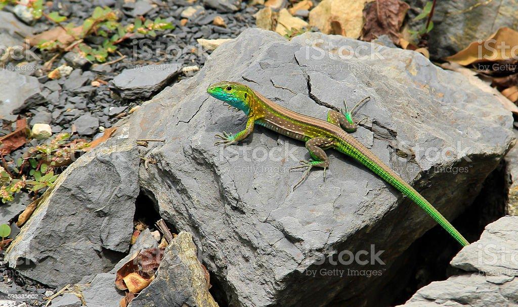 Lagartija a orillas del rio Sumapaz Colombia stock photo