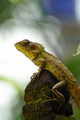 USA, Florida, Huge orange lizard of type Iguana close up frontal view