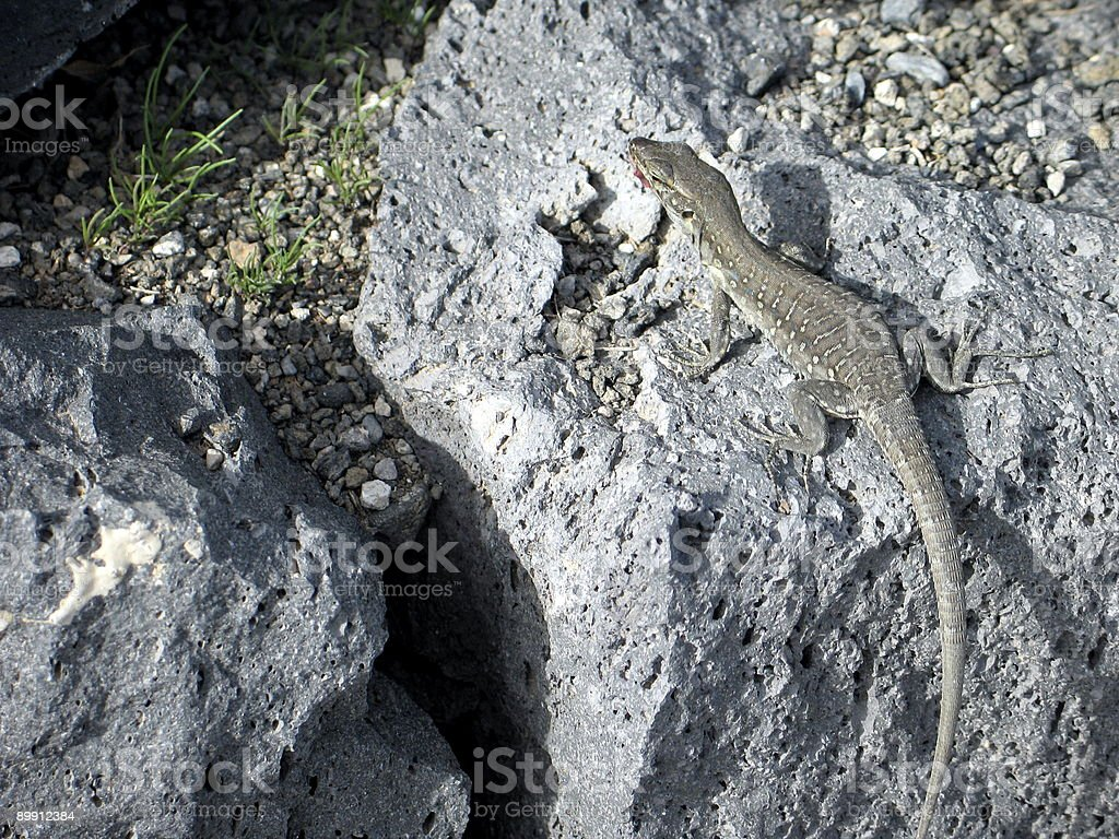Lizard on the seaside royalty-free stock photo