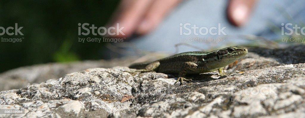 Lizard on the stone with man on background Lizenzfreies stock-foto