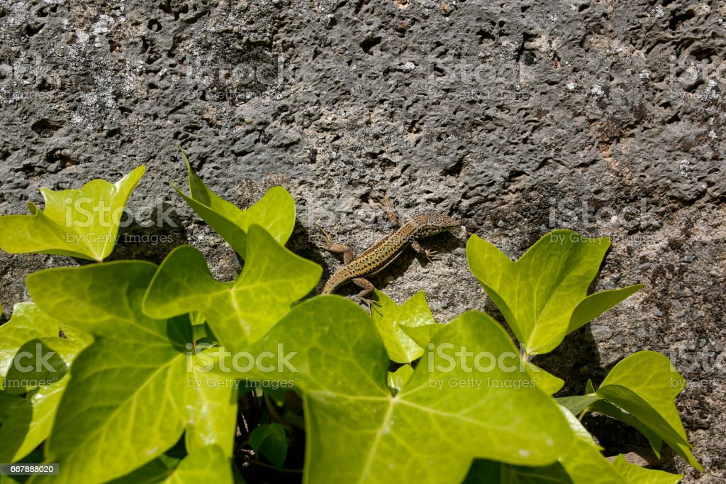 lizard on the wall covered with ivy royalty-free stock photo