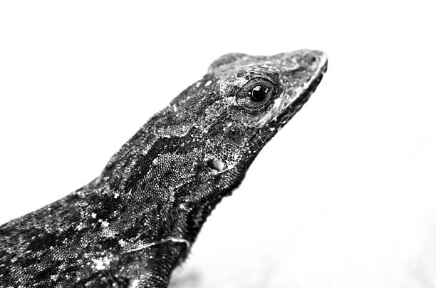 Lizard on White stock photo