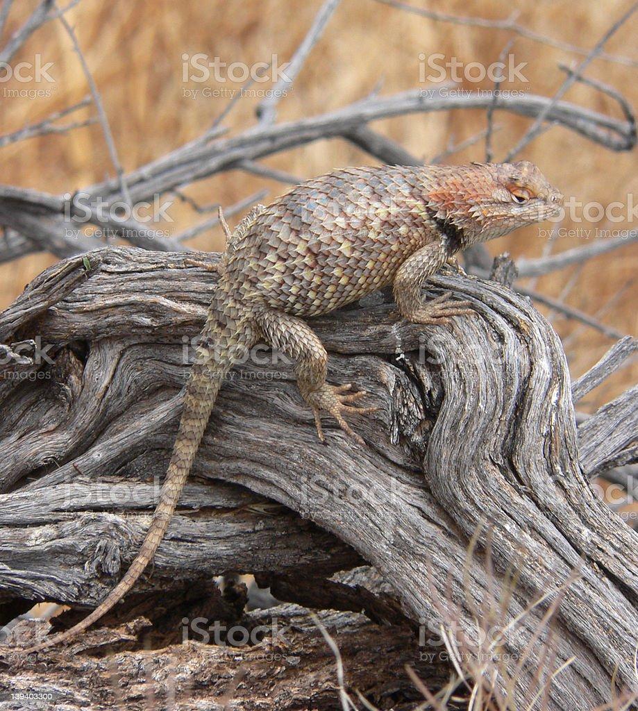 Lizard on Wood royalty-free stock photo