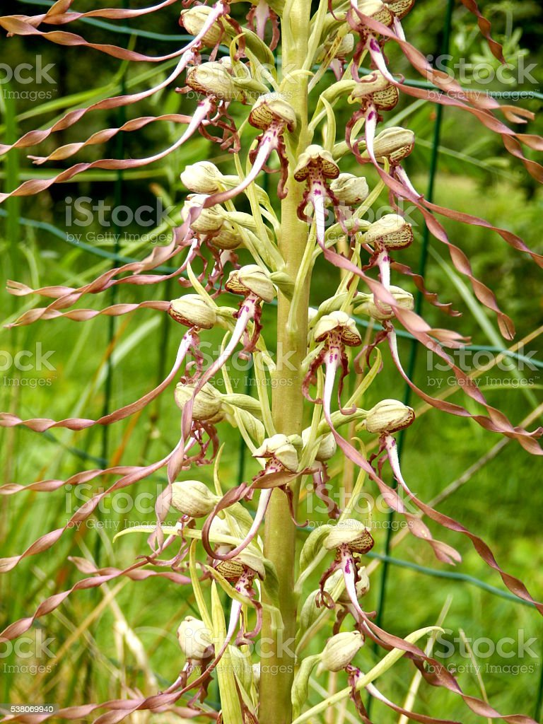 Lizard orchid stock photo