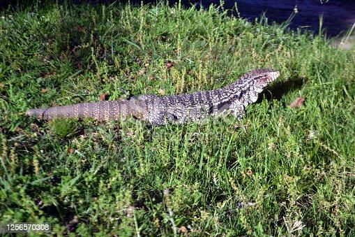 Reptil común en el Uruguay, departamento de Lavalleja