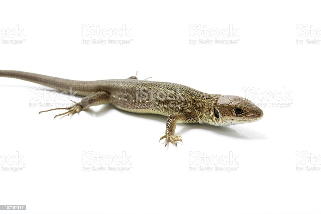 lizard stock photo