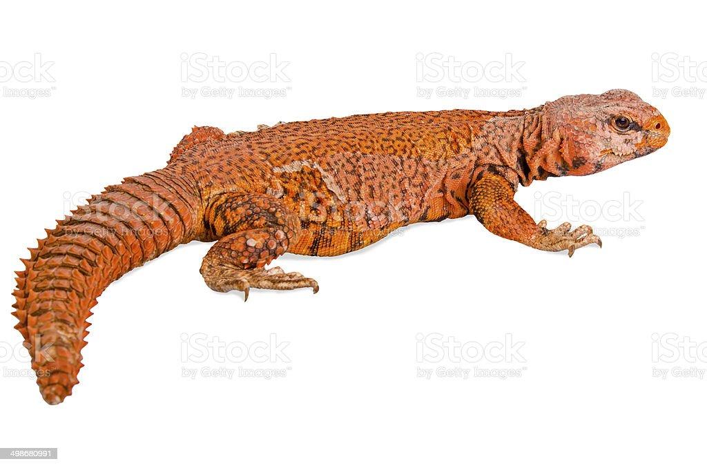lizard (uromastyx) stock photo