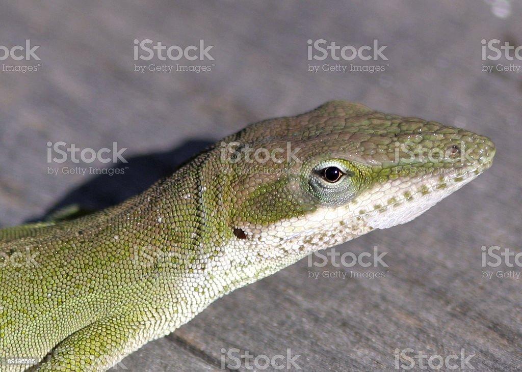 Lizard royaltyfri bildbanksbilder