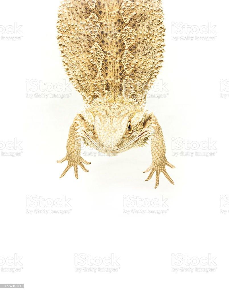 lizard pogona viticeps Ausführender auf-tail-Schnittform – Foto