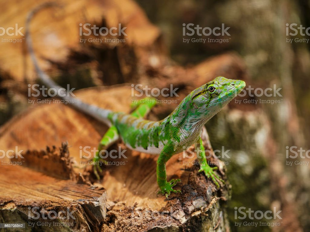 Lizard posing on tree stump stock photo