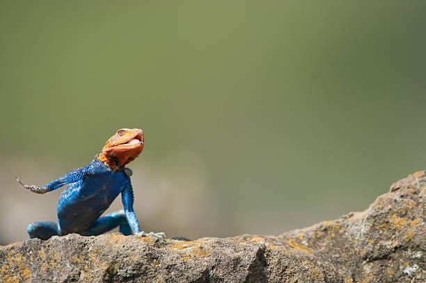 Lizard Religion stock photo