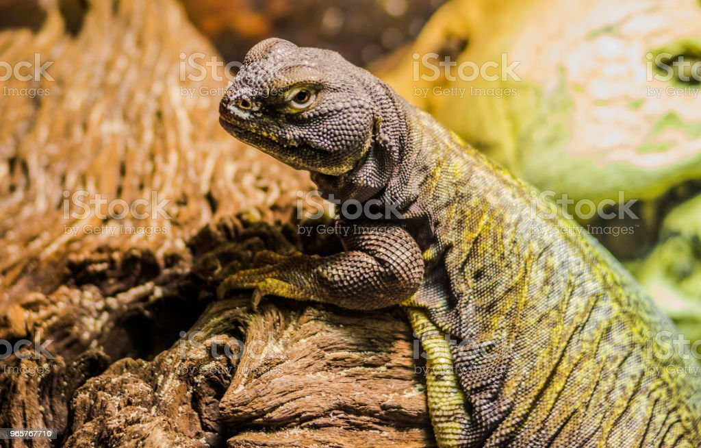 Lizard Reptile Pet - Royalty-free Africa Stock Photo