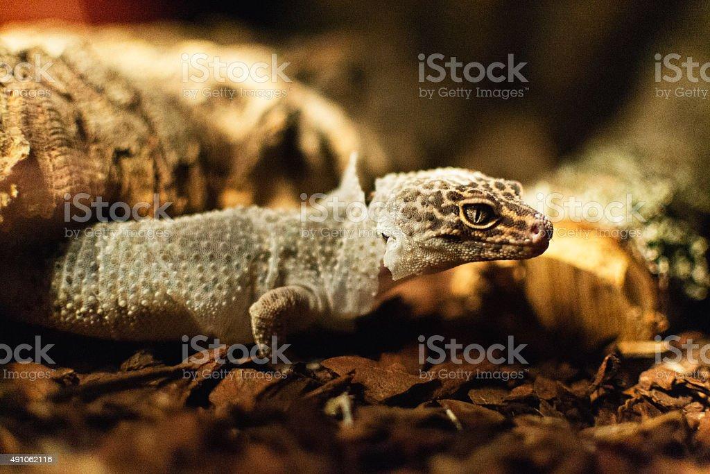 Lizard shedding its skin stock photo