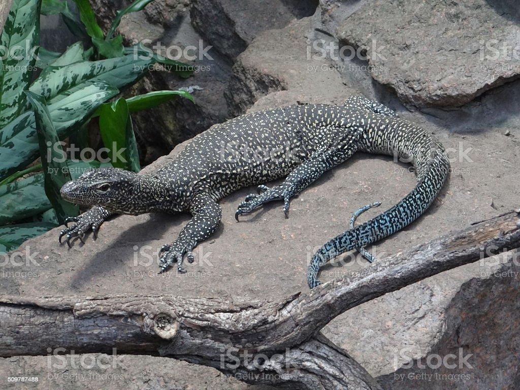 Lizard sitting on a rock stock photo