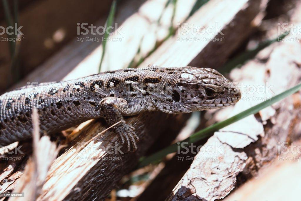Lizard sitting on brown boards enjoying morning sun. Wildlife in gaden, serious looking animal stock photo