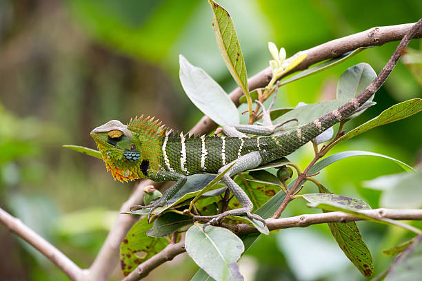 Echse, Sri Lanka – Foto