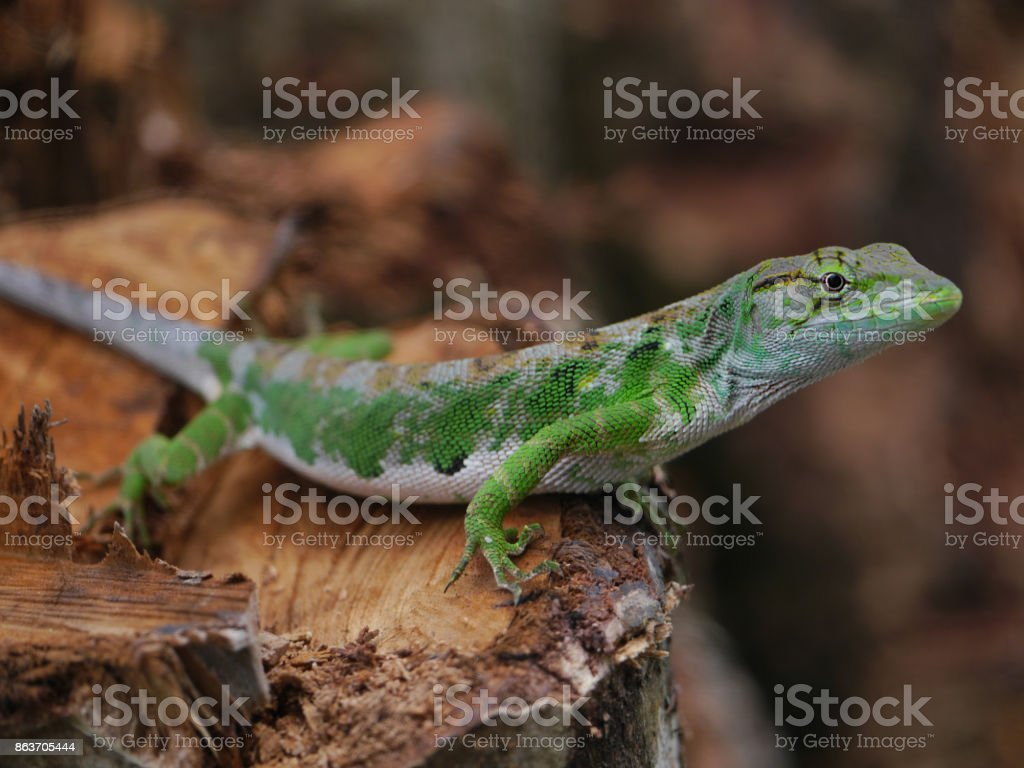 Lizard standing on tree stump stock photo