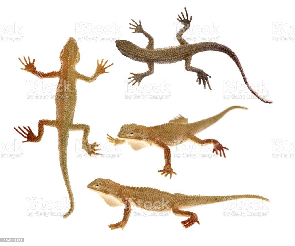 Brinquedos de lagarto em fundo branco isolado - foto de acervo