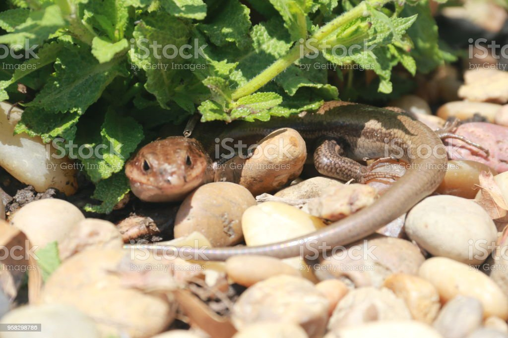 lizard under leaves of a plant stock photo