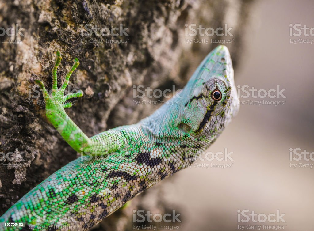 Lizard walking up tree bark stock photo