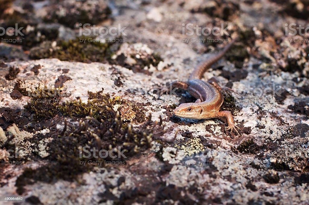 Lizard, wild animal, reptile on rock