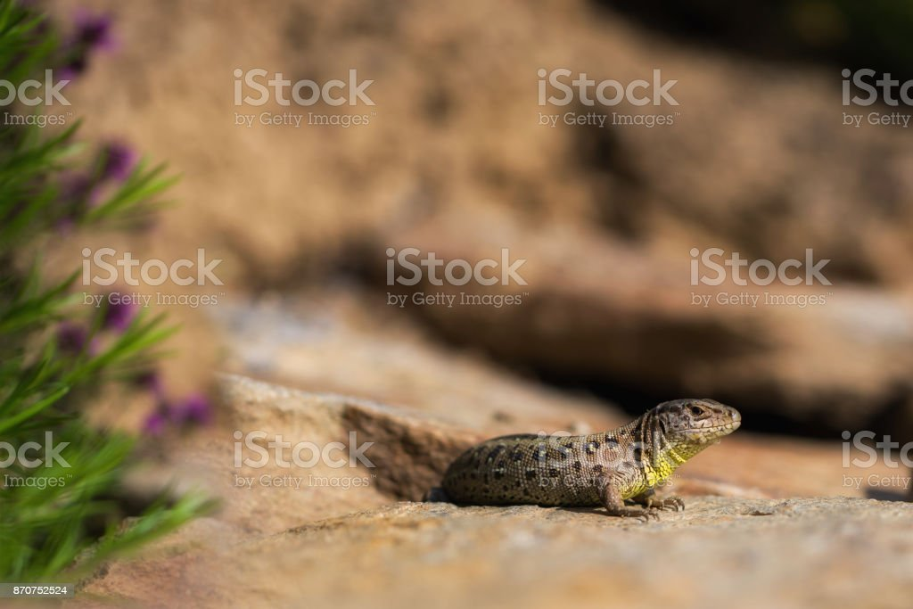 A lizard with a soft bokeh stock photo