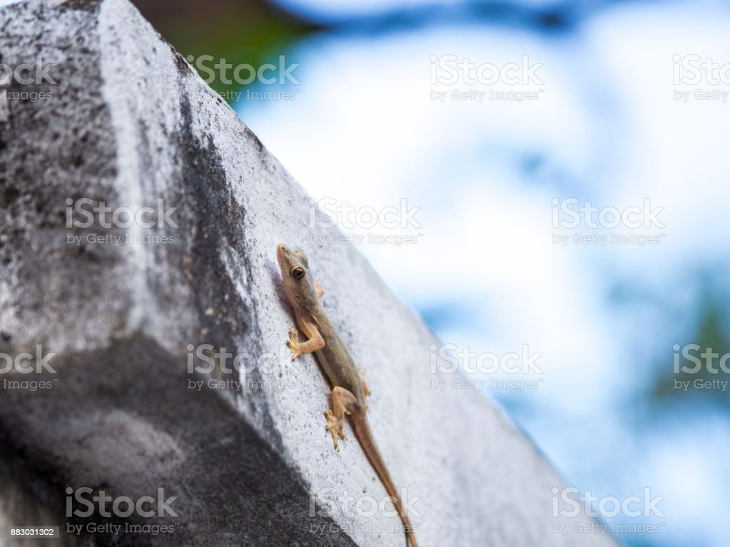 Lizards are hanging on the wall. stock photo