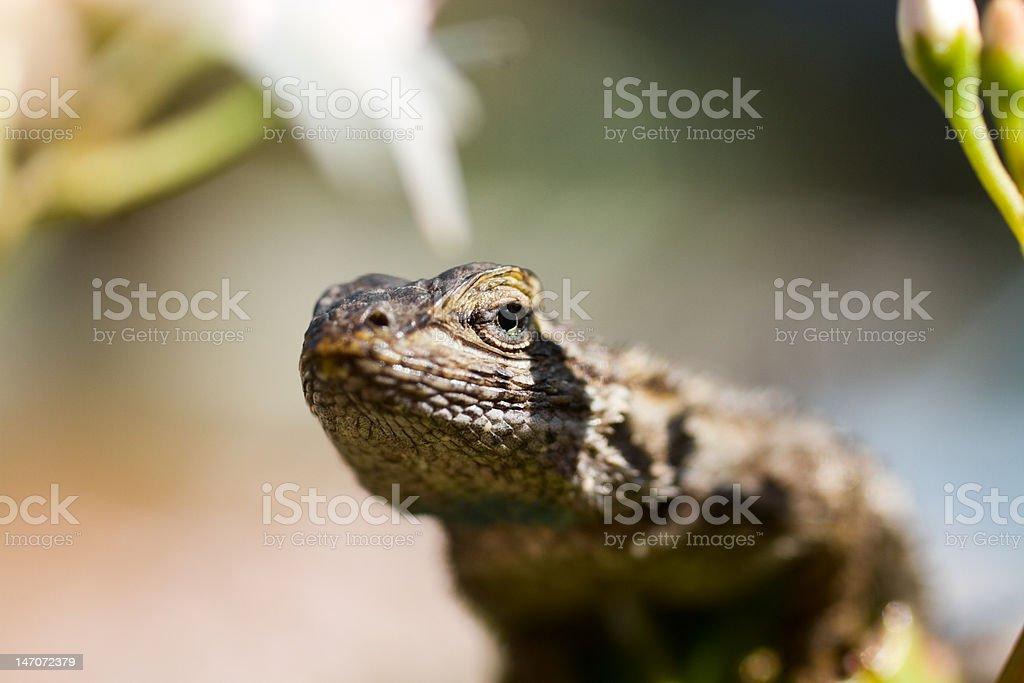 Lizard's Gaze XXL stock photo
