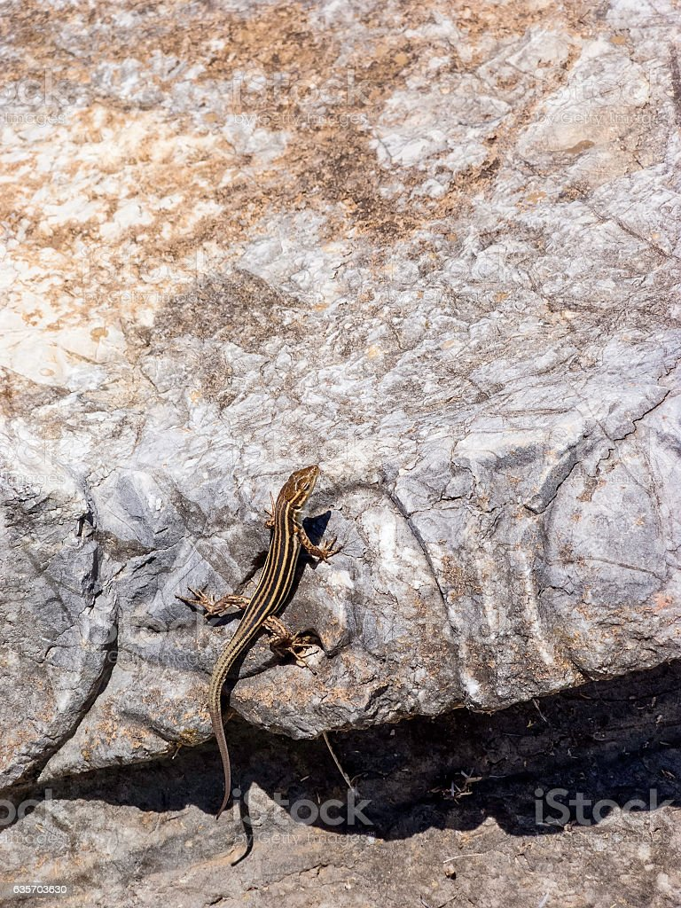 Lizards hiding on the ruins of Ancient Messini, Greece royalty-free stock photo