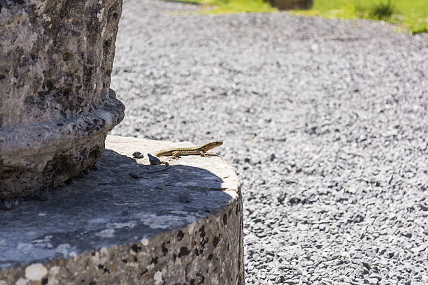 lizards hiding on the ruins of ancient messini, greece - herpétologie photos et images de collection