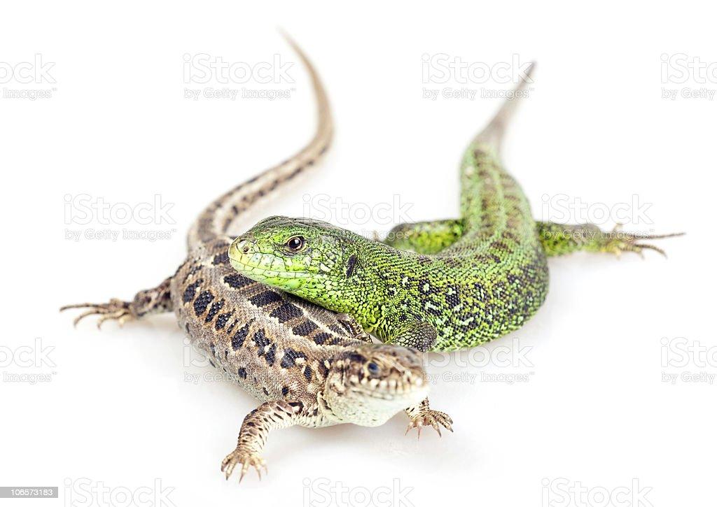 Lizards - foto de stock